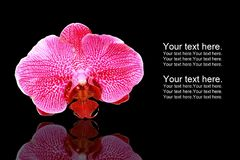 Orchidea Phalaenopsis Royalty Free Stock Images