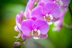Orchidea Phalaenopsis Stock Images