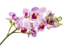 Orchidea Phalaenopsis Royalty Free Stock Photo