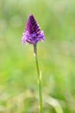 Orchidea piramidale Fotografie Stock Libere da Diritti
