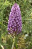Orchidea piramidale, pyramidalis di Anacamptis, in Algarve Fotografie Stock