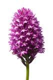 Orchidea piramidale selvatica isolata sopra i pyramidalis bianco- di Anacamptis Immagine Stock