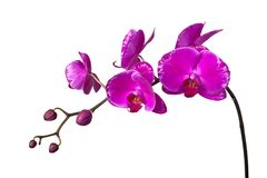 Orchidea porpora Immagine Stock