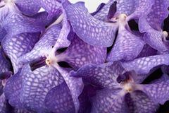Orchidea porpora immagine stock