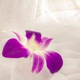Orchidea porpora Immagine Stock Libera da Diritti