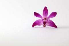 Orchidea porpora Fotografie Stock Libere da Diritti