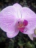 Orchidea porpora, bello fiore, bunga Angrek Ungu Fotografia Stock