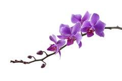 Orchidea porpora del Dendrobium su fondo bianco Fotografie Stock