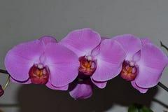 Orchidea porpora del fiore Immagini Stock