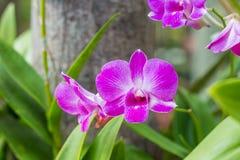 Orchidea porpora del fuoco selettivo in giardino immagini stock libere da diritti