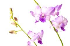 Orchidea porpora di bellezza isolata su fondo bianco Immagine Stock