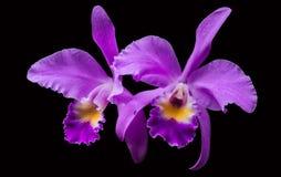 Orchidea porpora isolata nel nero fotografie stock libere da diritti