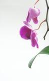 Orchidea porpora isolata (nome-orchidaceae scientifica) Immagini Stock
