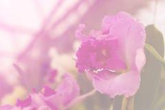 Orchidea porpora, luminoso dolce tonificato Fotografie Stock Libere da Diritti