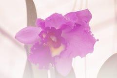 Orchidea porpora, luminoso dolce tonificato Immagini Stock Libere da Diritti