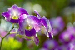 Orchidea porpora al sole Fotografie Stock