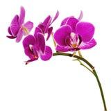 Orchidea porpora molto rara isolata su fondo bianco. Immagine Stock