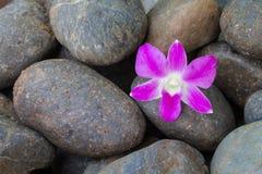 Orchidea porpora sulla pietra del ciottolo Immagine Stock Libera da Diritti