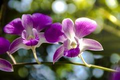 Orchidea porpora tailandese Fotografia Stock Libera da Diritti