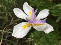 Orchidea in primavera Immagini Stock Libere da Diritti