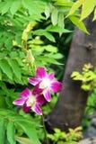 orchidea rara Bianco-rossa Immagine Stock