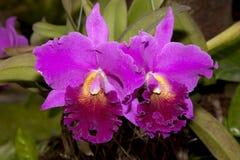Orchidea rosa Immagini Stock