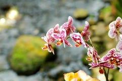 Orchidea rosa Fotografia Stock