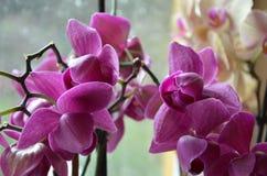 Orchidea rosa Immagini Stock Libere da Diritti