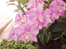 Orchidea rosa Fotografie Stock Libere da Diritti