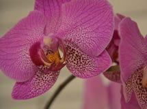 Orchidea rosa Fotografie Stock
