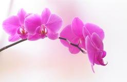 Orchidea rosa Banch, primo piano Fotografia Stock