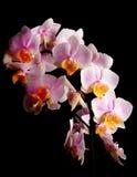 Orchidea rosa contro bacground nero Immagini Stock