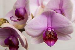 Orchidea rosa della lingua Fotografia Stock Libera da Diritti