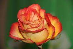 Orchidea rosa di fioritura dell'arancia Fotografia Stock