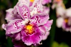 Orchidea rosa e bianca, Miltonidium Carnivale Rio Orchidaceae Fotografie Stock
