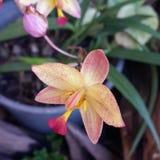 Orchidea rosa gialla Immagini Stock