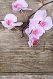 Orchidea rosa (phalaenopsis) Immagine Stock Libera da Diritti