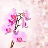 Orchidea rosa su fondo blured Immagini Stock Libere da Diritti