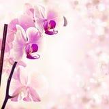 Orchidea rosa sul fondo della molla Immagine Stock