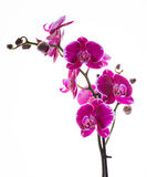 Orchidea rosa variopinta Fotografia Stock Libera da Diritti