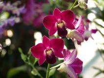 Orchidea rossa Fotografie Stock Libere da Diritti