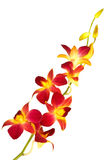 Orchidea rossa Immagini Stock Libere da Diritti
