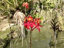Orchidea rossa Fotografia Stock Libera da Diritti