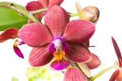 Bianco di fioritura del ramo con l 39 orchidea rossa for Orchidea fioritura