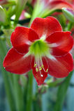 Orchidea rossa solitaria Fotografie Stock