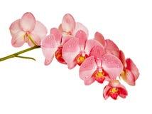 Orchidea rossa su fondo bianco Fotografie Stock
