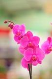 Orchidea rosso magenta Fotografie Stock Libere da Diritti