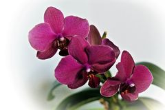 Orchidea rosso-porpora di fioritura su un fondo bianco immagini stock