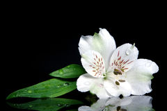 Orchidea selvatica Fotografia Stock
