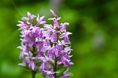 Orchidea selvatica Immagine Stock